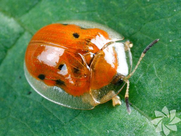 Altın Kaplumbağa Böceği  Charidotella sexpunctata adı verilen atlın kaplumbağa böceği, doğadaki en şaşırtıcı hayvanlardan biri. Boyutu 5 ile 8 santimetre boyutları arasında değişmektedir.