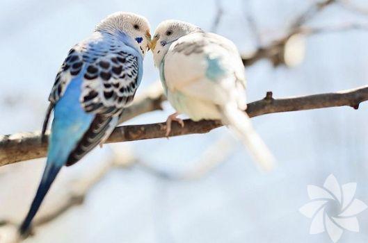 Bu kuşlar aşık...