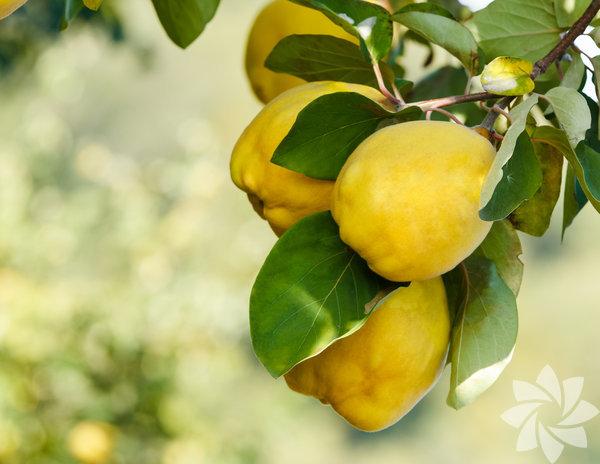 A ve B vitaminleri açısından zengin olan ayva, kış mevsiminin vazgeçilmez meyvelerinden biri. Şeker oranı oldukça düşük olan meyve, aynı zamanda insanı rahatlatıcı ve sakinleştirici özelliğe sahip.