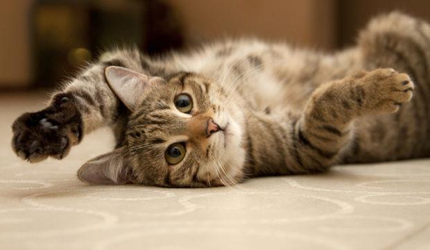 Tüm kedi sahiplerinin ortak görüşü olan 12 gerçek