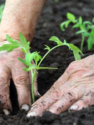 Yiyecek artıklarından sebze yetiştirmenin yolları