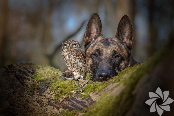 Ünlü Alman profesyonel hayvan fotoğrafçısı ve kolaj sanatçısı olan Tanja Brandt'ın bir köpek ve baykuşun süprizlerle dolu şirin hikayesini anlattığı fotoğraflarla karşınızdayız.