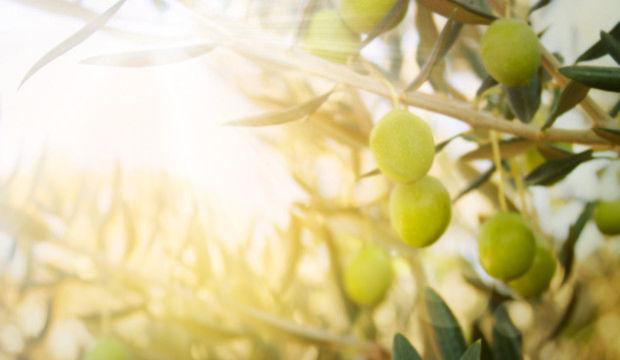 Zeytinlerin altında