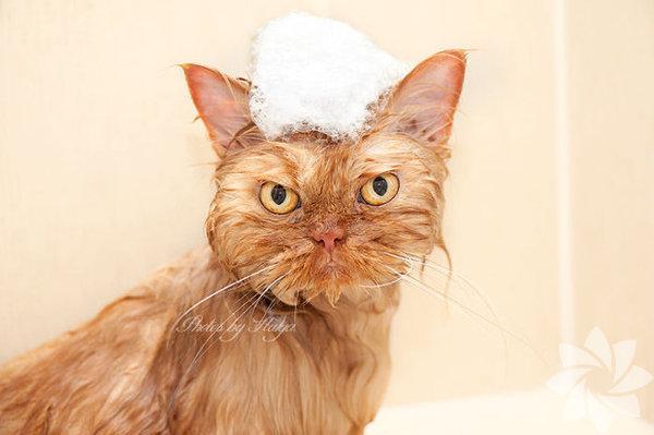Kedileri kızdırmaya gelmez! İşte size ispatı...  Kediler suyu sevmez. İlle de deneyip görmek istiyorsanız böyle bir surat ifadesi ile karşılaşabilirsiniz.