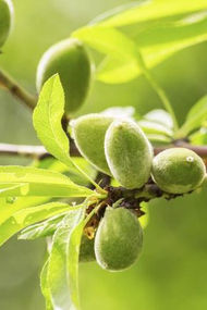 Probiyotiğin doğal kaynağı: Çağla meyvesi...