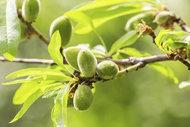 Probiyotiğin doğal kaynağı: Çağla meyvesi