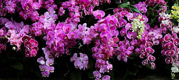 Siz orkideleri kaç çeşit sanmıştınız?