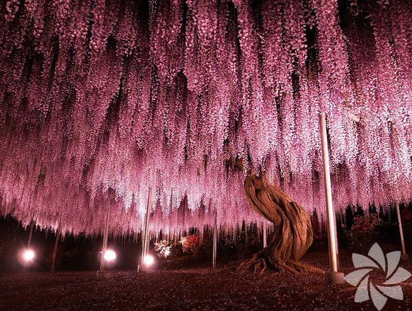 144 yaşındaki Wisteria ağacı, Japonya