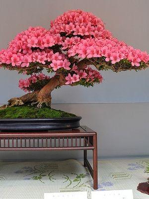Pembe bonsai ağaçları...