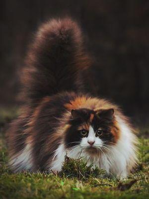 Dev kediler tam sarılmalık