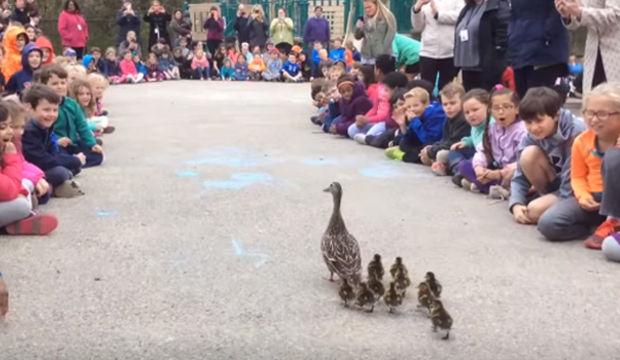 Ördeklere geçit töreni