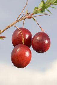 Cranberry mevsim değişikliklerinde birebir!