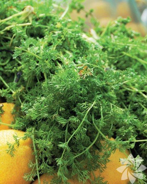 Arapsaçı otu Isırgangiller familyasına ait bir bitkidir. Isırgangiller cinsinin monotipik türü olan arapsaçı bitkisi ufak ve parlak bir bitkidir. Yeşil yapraklı bir süs bitkisi olan arapsaçı otu insan sağlığına bir çok yararı bulunan bitkiler arasında yer almaktadır. Daha çok Kuzey Akdeniz bölgesinde ve İtalya'da yetiştirilmektedir. Sağlık üzerindeki olumlu etkisi kanıtlandıktan sonra dünyanın her yerinde yetiştirilmeye başlayan arapsaçı otu rezene bitkisi olarak da anılmaktadır. Evlerde de yetiştirilebilen arapsaçı otunun özellikle yatıştırıcı etkisi bulunmaktadır. Yan etki içermez ve tamamen doğal, organik yetişmektedir. Kolayca yetiştirilebilen bu bitki salatalarda kullanılabilmekte veya haşlanarak çayı yapılabilmektedir.