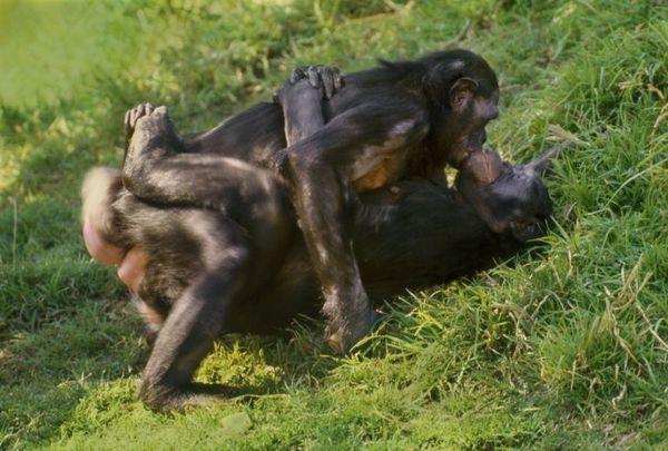 Секс шемпанзе с женщиной