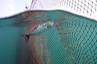 Bir belgesel bir balığın soyunu kurtarabilir mi?
