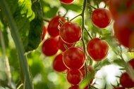 İspanyollar neden domates sever?